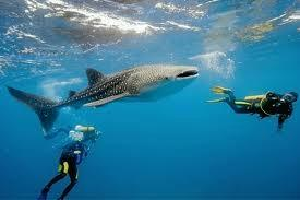 The New Rules for Whale Shark Watching at Oslob Cebu