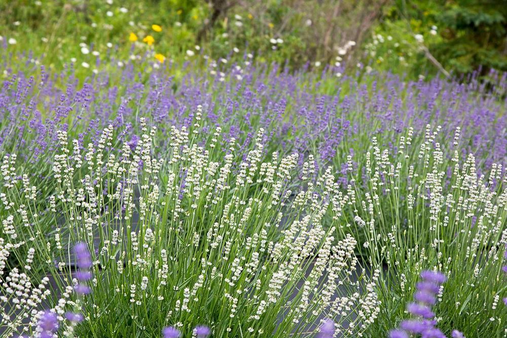 Fragrant Isle Lavender Farm & Shop (Washington Island) - All You ...