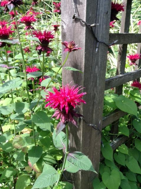 Bee balm in abundance