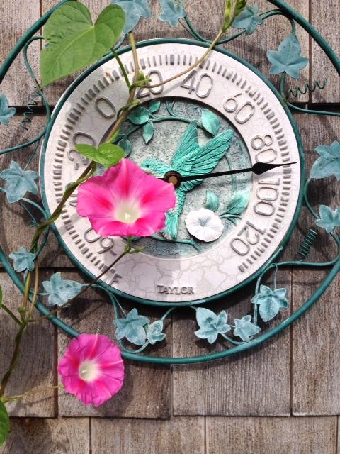 Morning glories hover over the thermometer