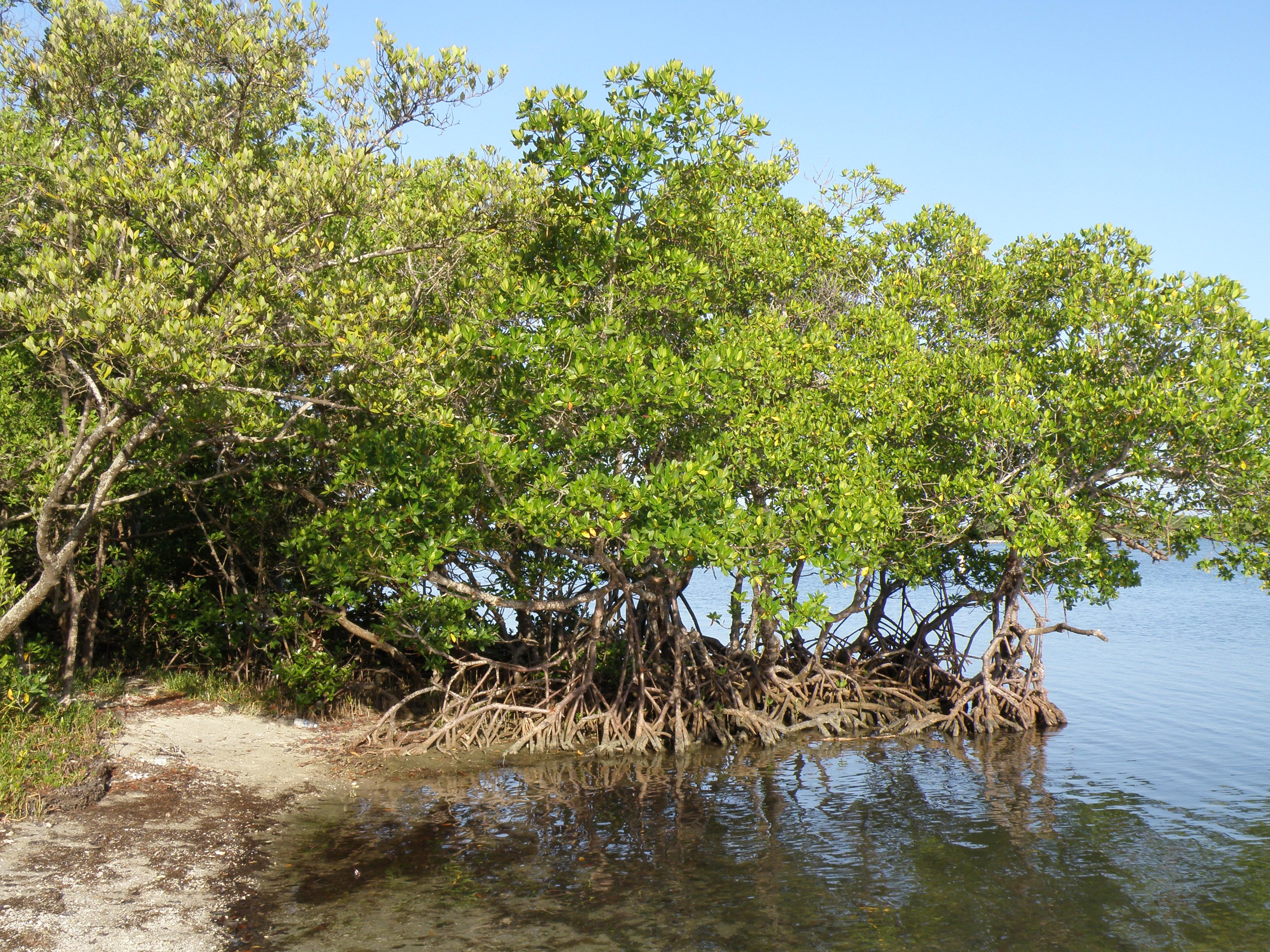 Mangroves in Estero Bay, Bonita Springs, FL
