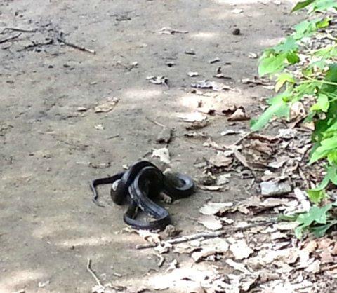 Snake on Big Meadow Trail