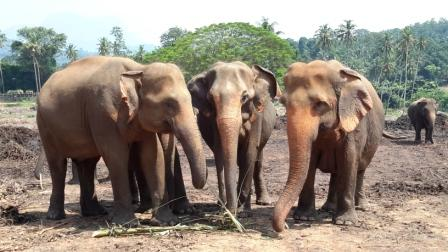 ‪Pinnawala Elephant Orphanage‬
