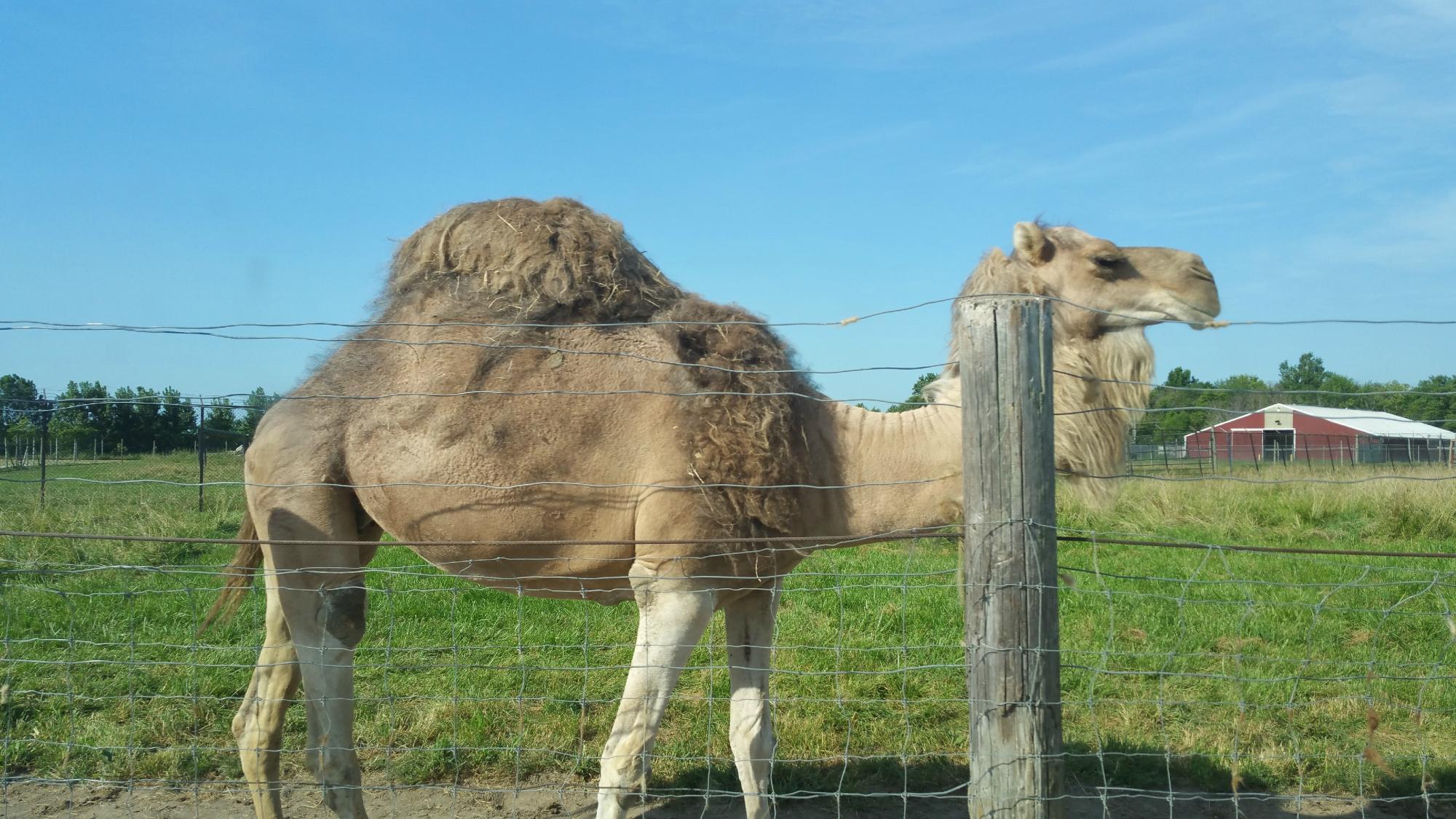 Hello Mr. Camel!!!