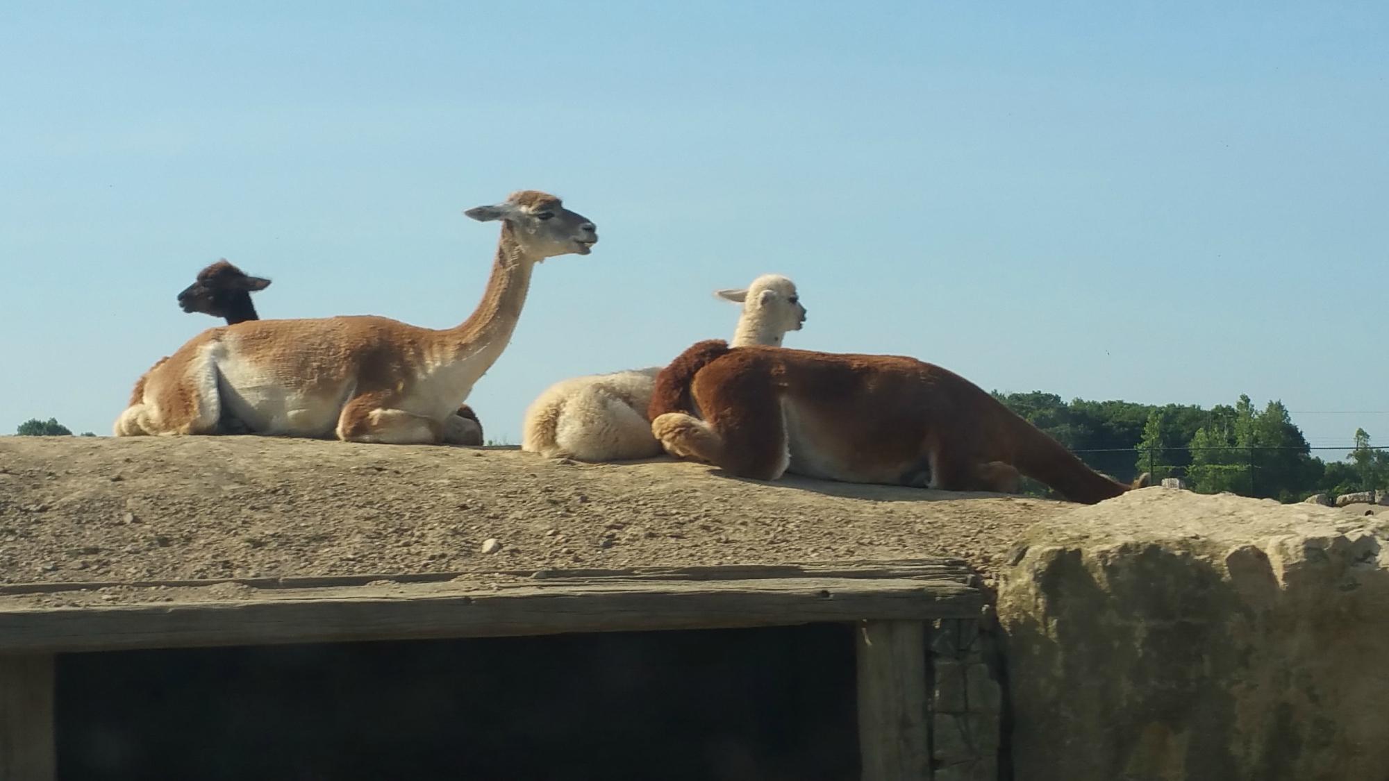 Some lazy llamas.