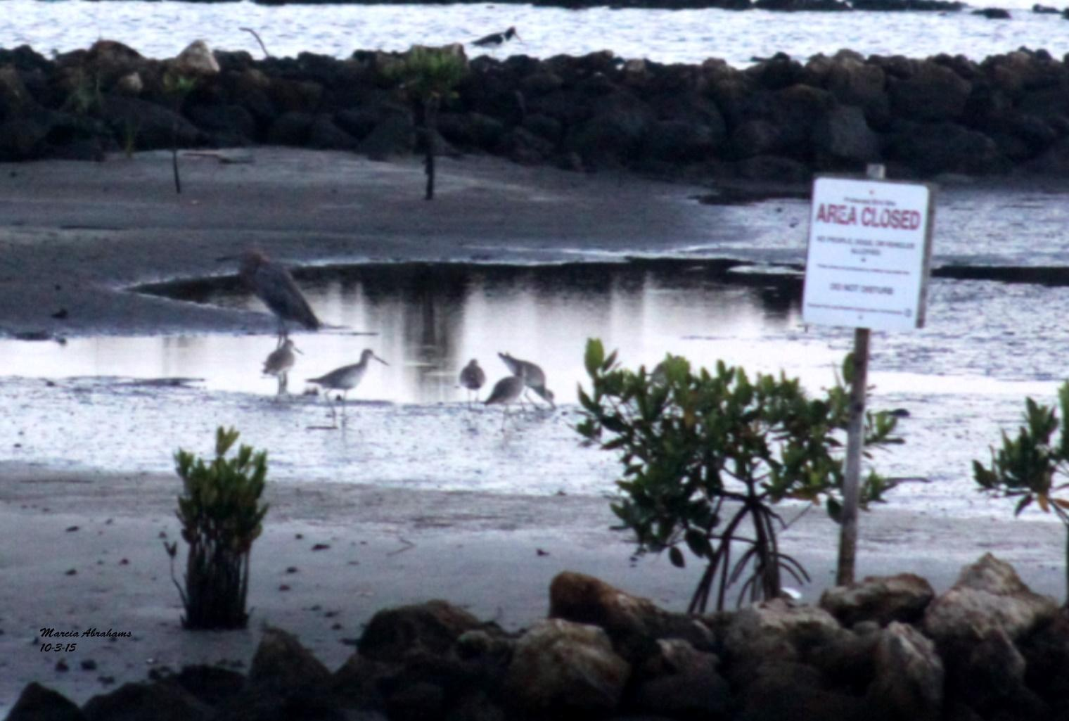 Reddish egret - Snook Islands Natural Area 10-3-15