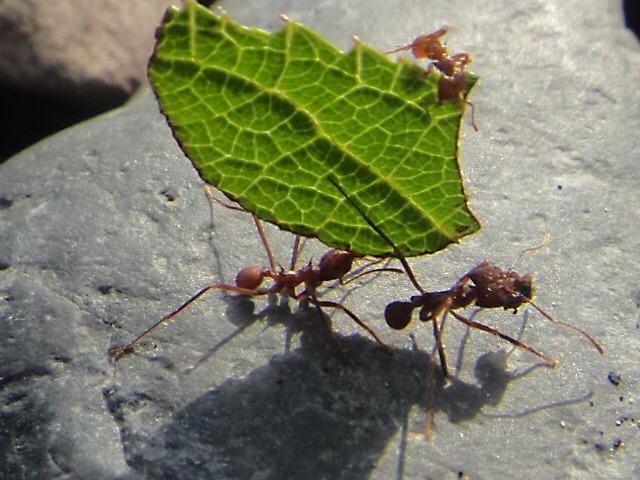 Hormiga trabajadora