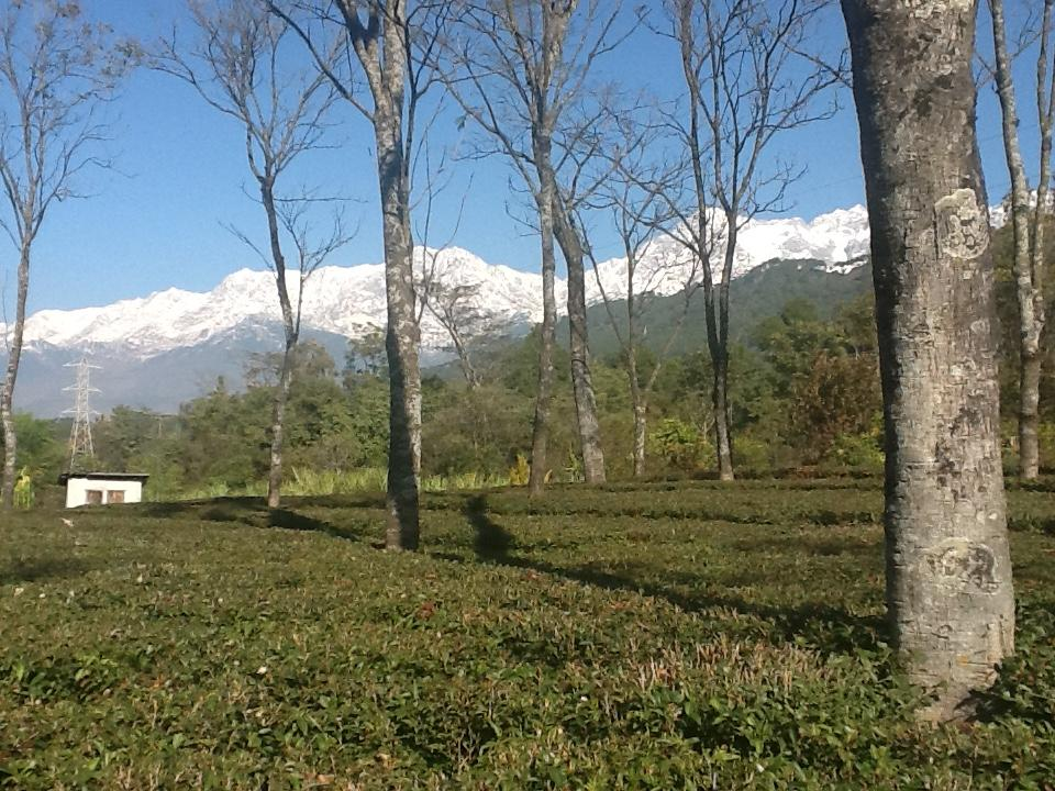 Darang Tea Estate