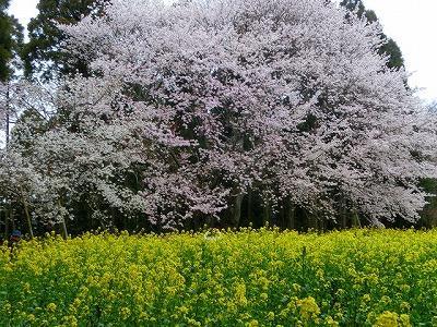 Obyo Cherry Blossom