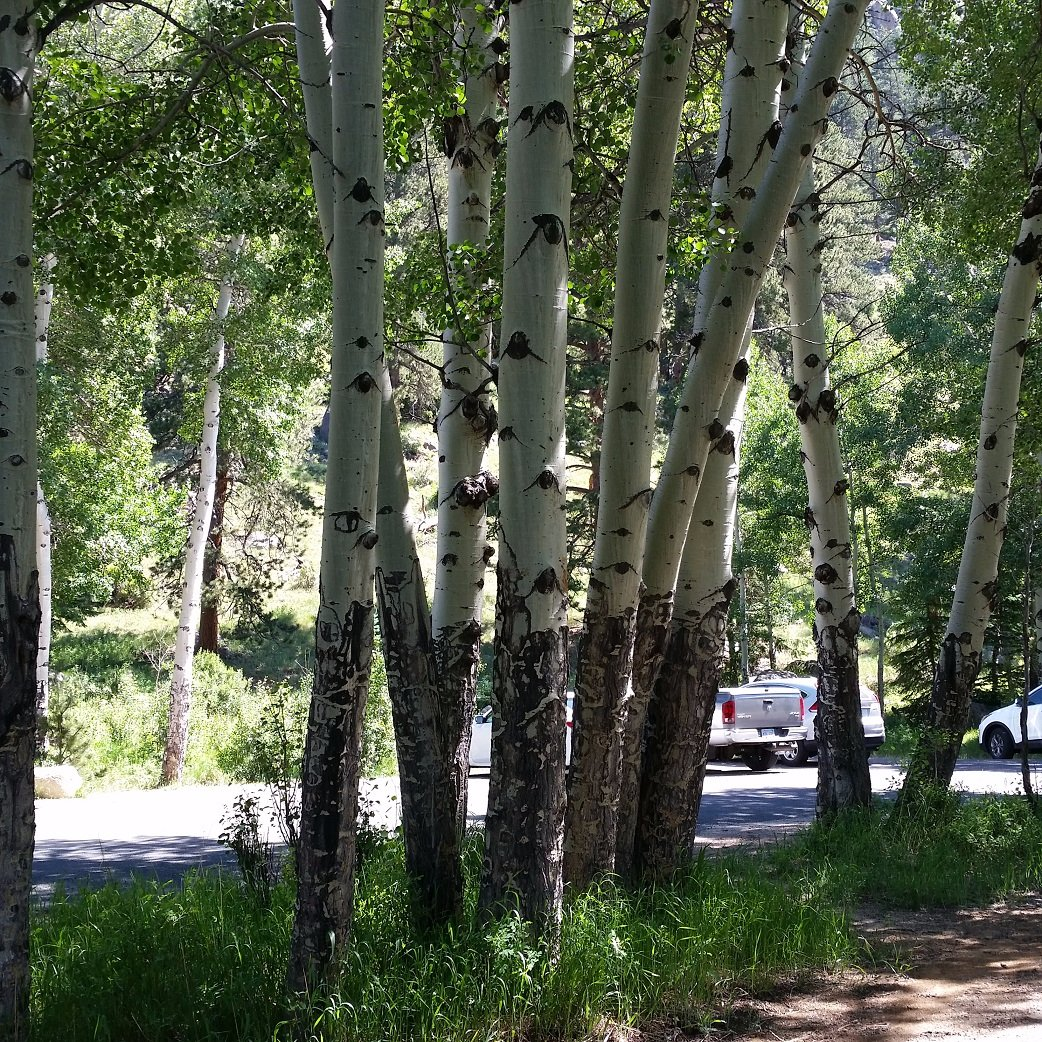 Aspen near Alluvial Fan