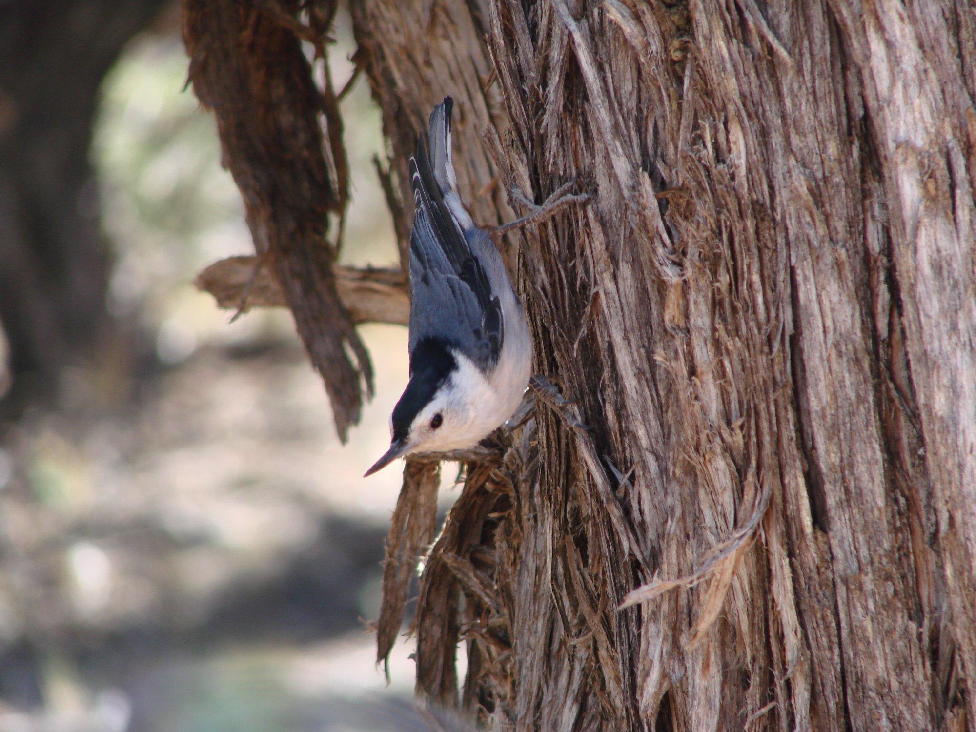 Tree Creeper at Grand Canyon