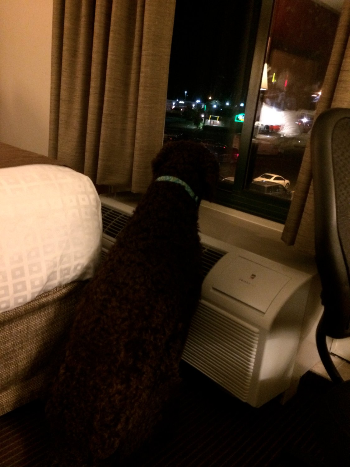 My dog looks at the view out the motel room window.