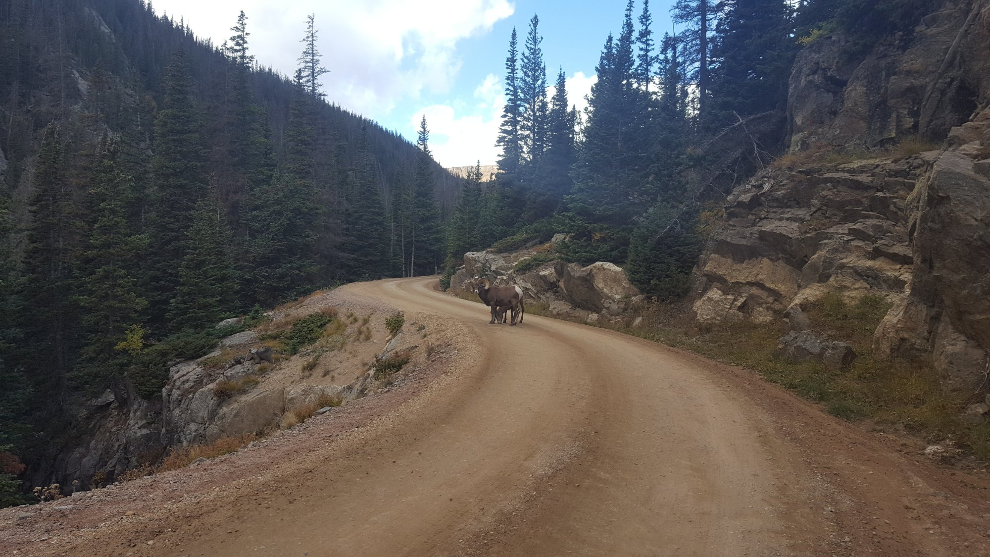 Bighorn Sheep on Fall River Road-Rocky Mountain National Park