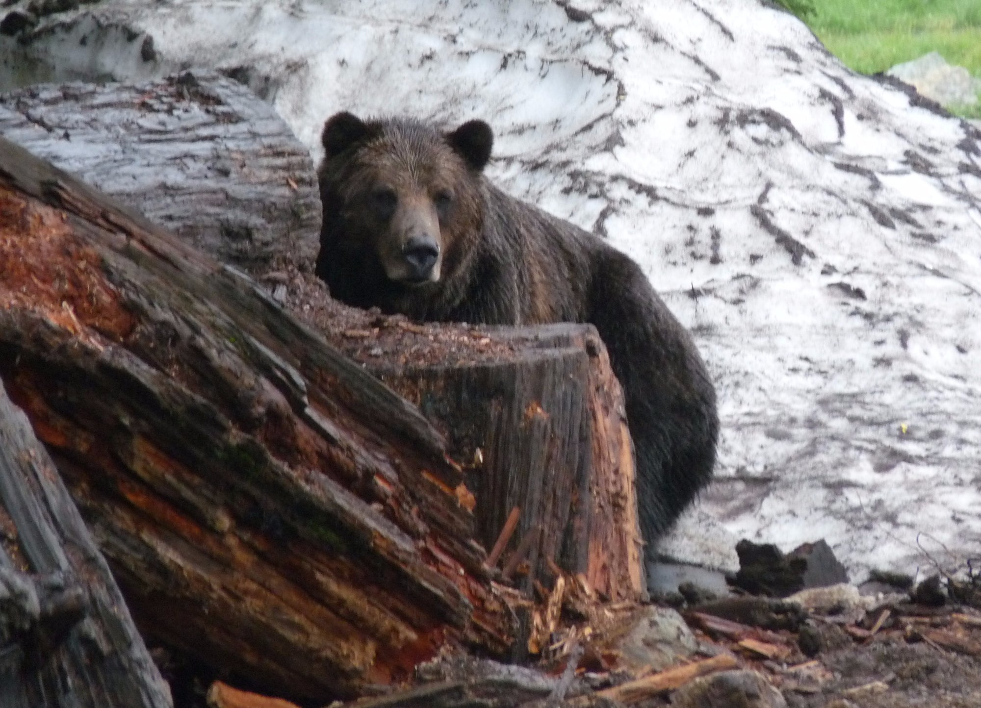 Rescued Bear on Grouse Mountaion Vancouver