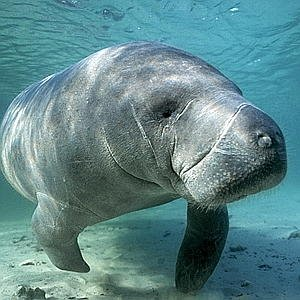 Manatee Sightseeing Eco-Tourism Adventure