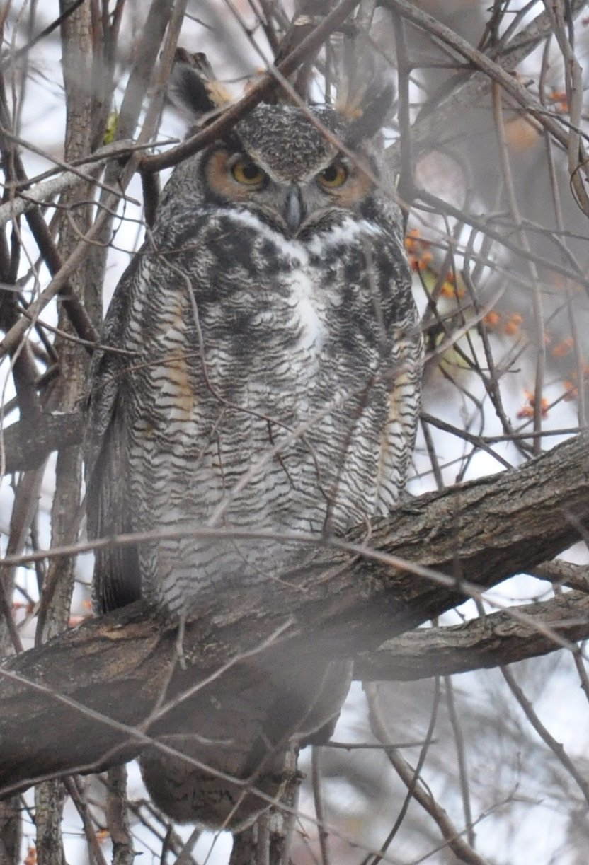 Great horned owl keeps watch near the prairie.