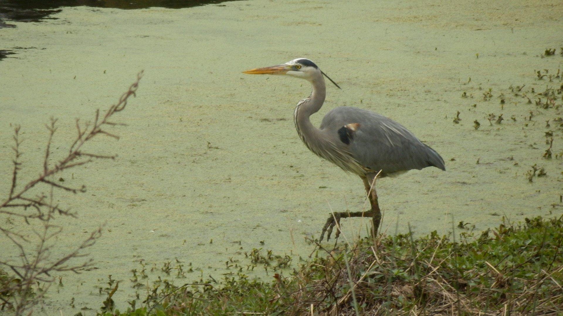 Wading bird at Jarvis Creek Park
