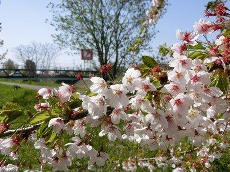 Sakura Trees of Shinkawadori