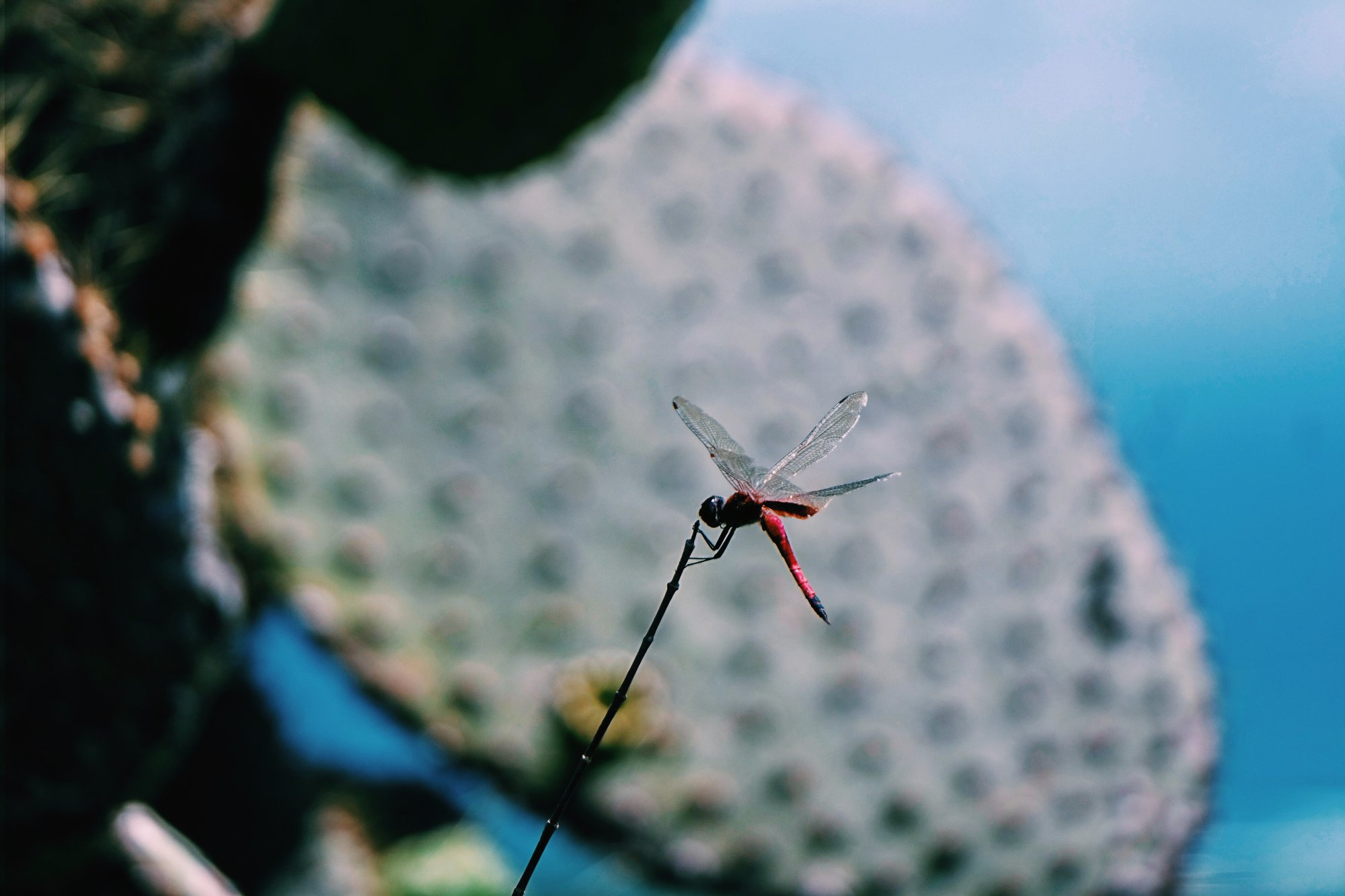 dragonfly in Isabela island