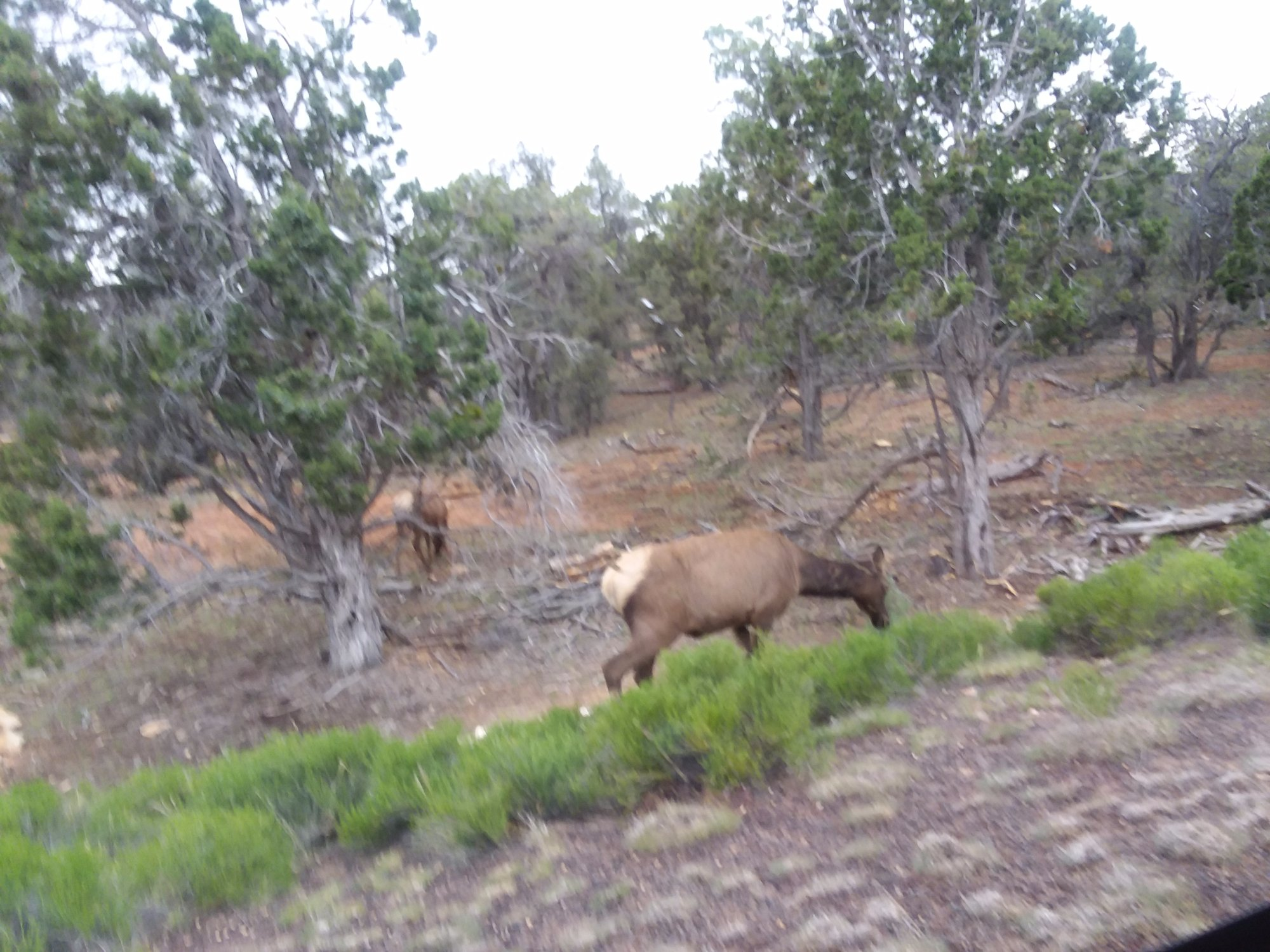 Elk on the side of the train, while traveling to the Grand Canyon.