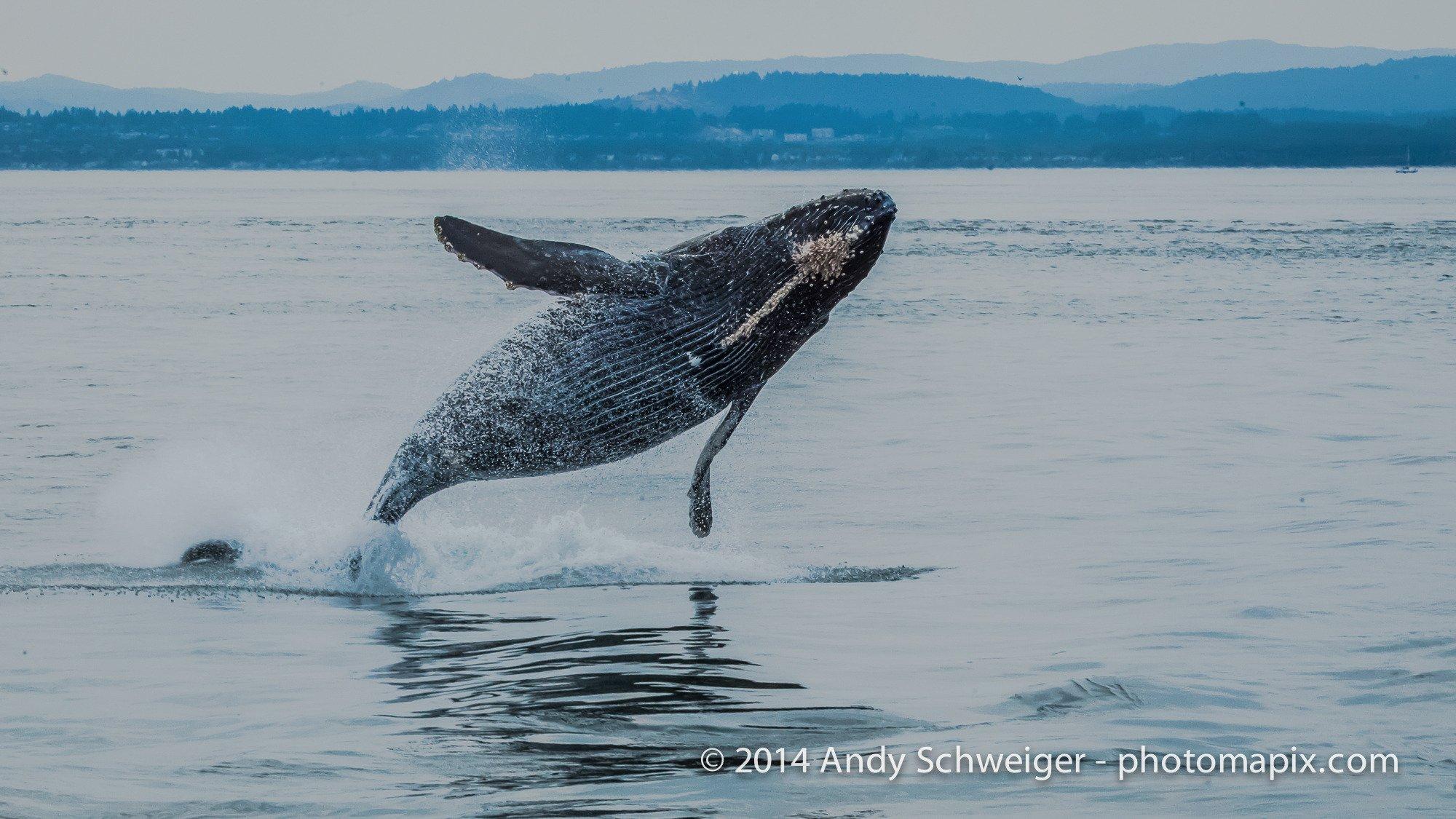humpback jumping II