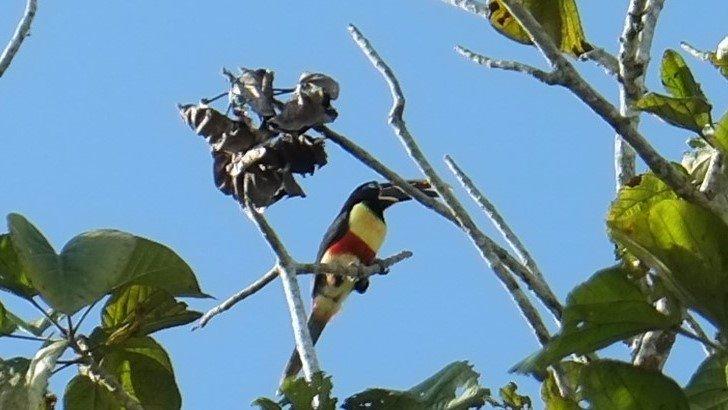 Un tucán joven, que se posó en el árbol de zapote, del jardín interior del hotel, captada en jun (266908520)