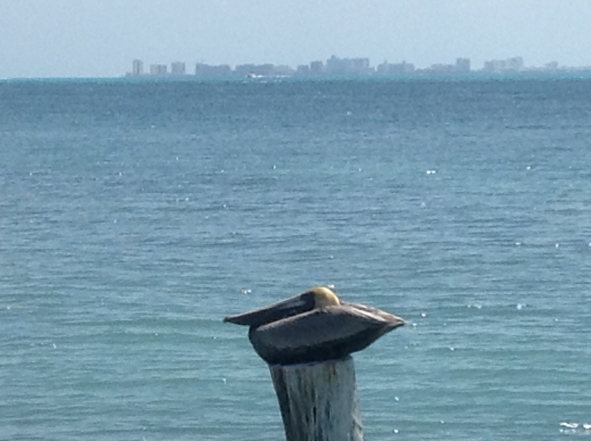 Pelican with Cancun as backdrop