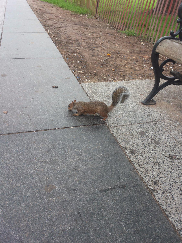 uno degli scoiattoli che popolano il parco di fronte alla casa bianca