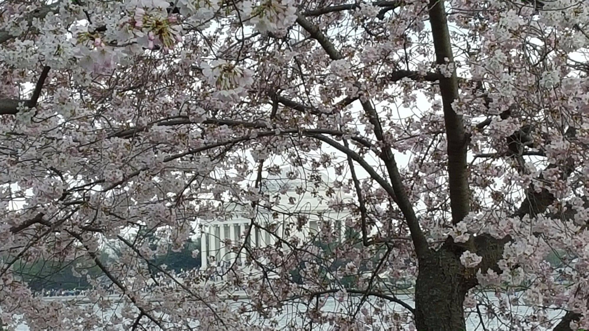 Tidal Basin, Washington, DC during Cherry Blossoms