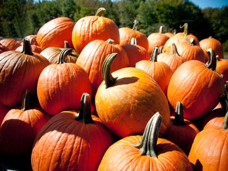 Pumpkin Picking at Fifer Orchards