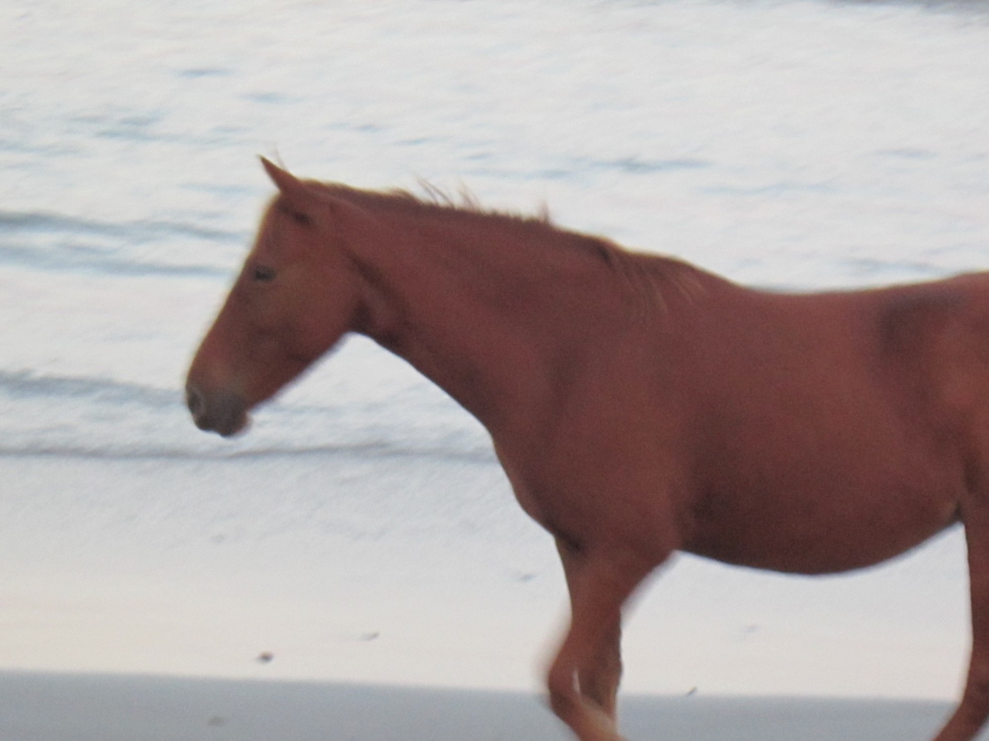Wild Horses in the Outer Banks of NC