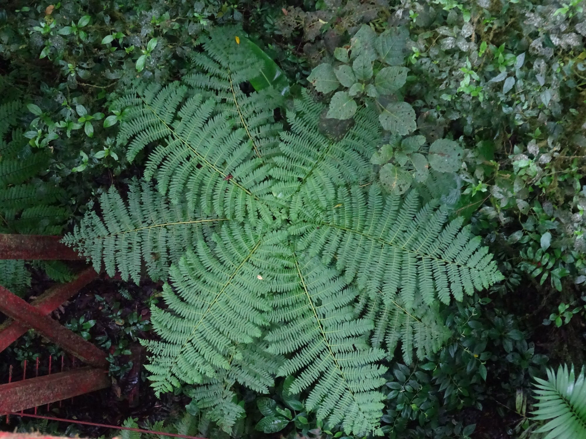 Hard to tell, but see the red bridge legs on the left?  This fern is bigger than me!