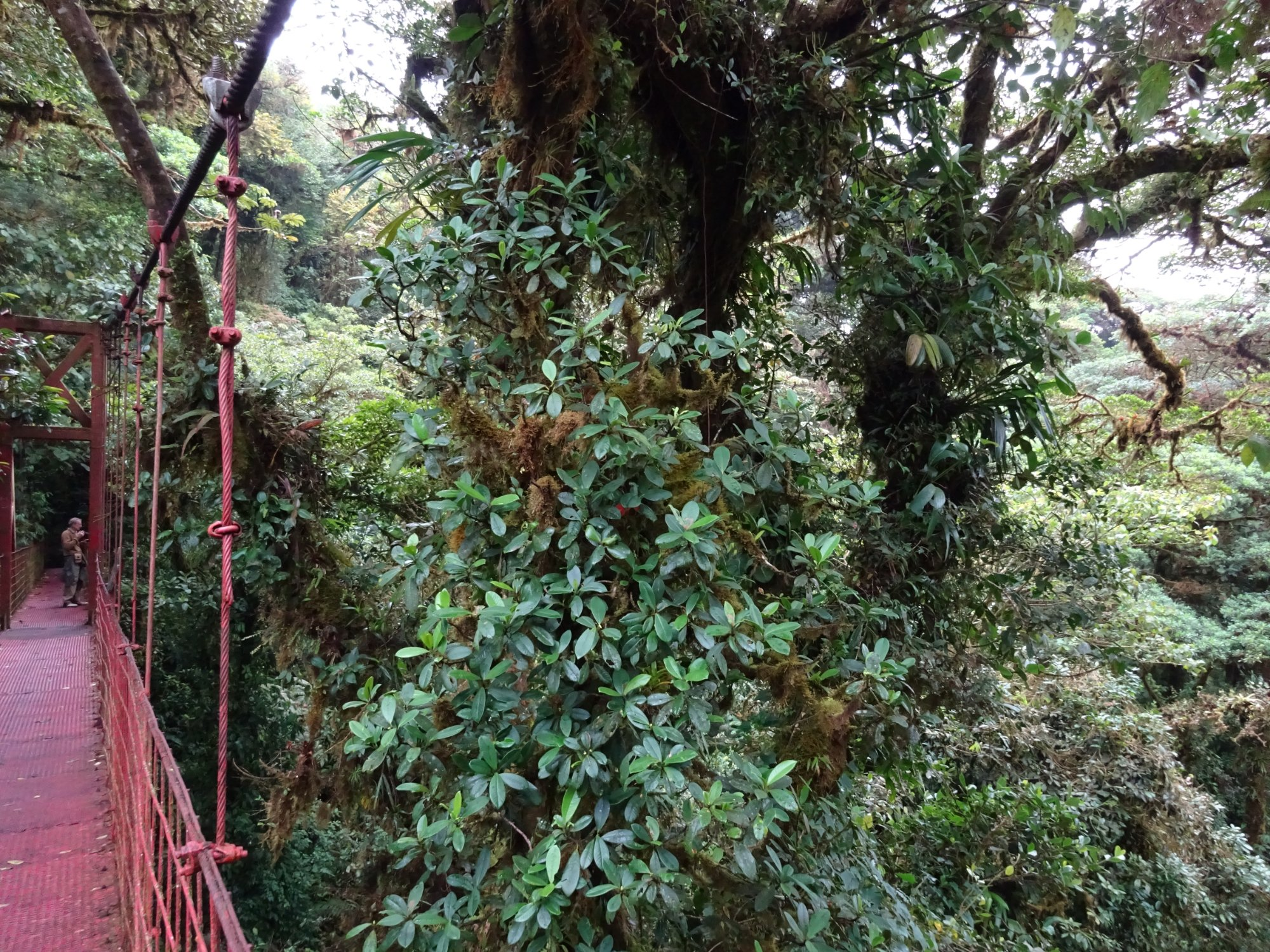 Look to the left for scale of this rainforest from a suspension bridge.  Monteverde, Costa Rica