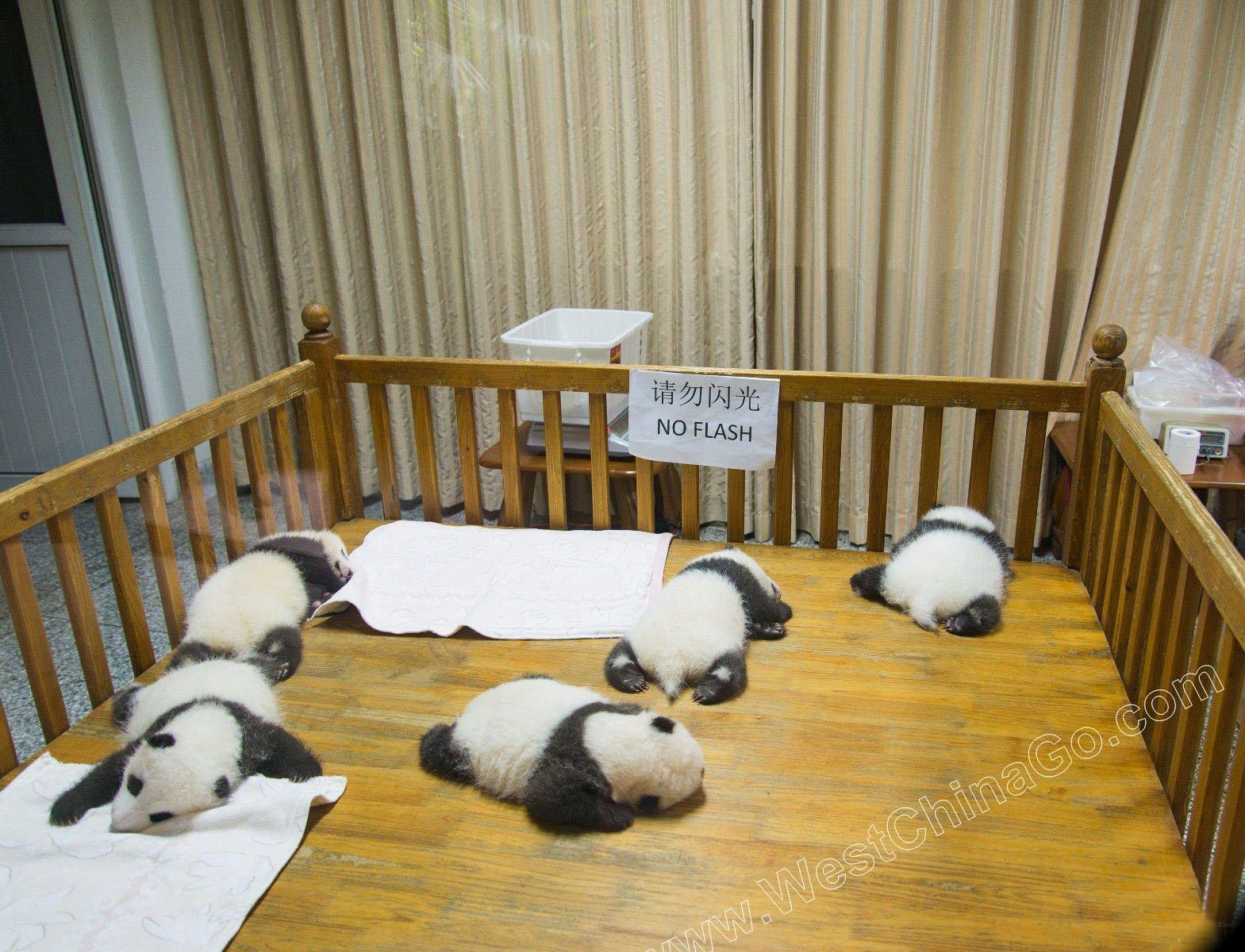 Chengdu Panda Breeding Center Tour