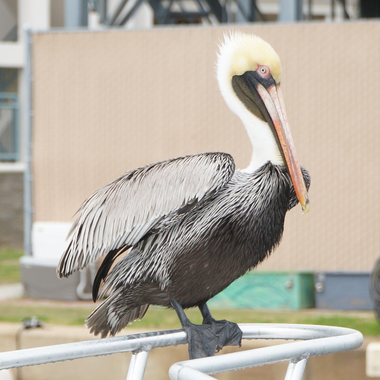 Pelican at the port.