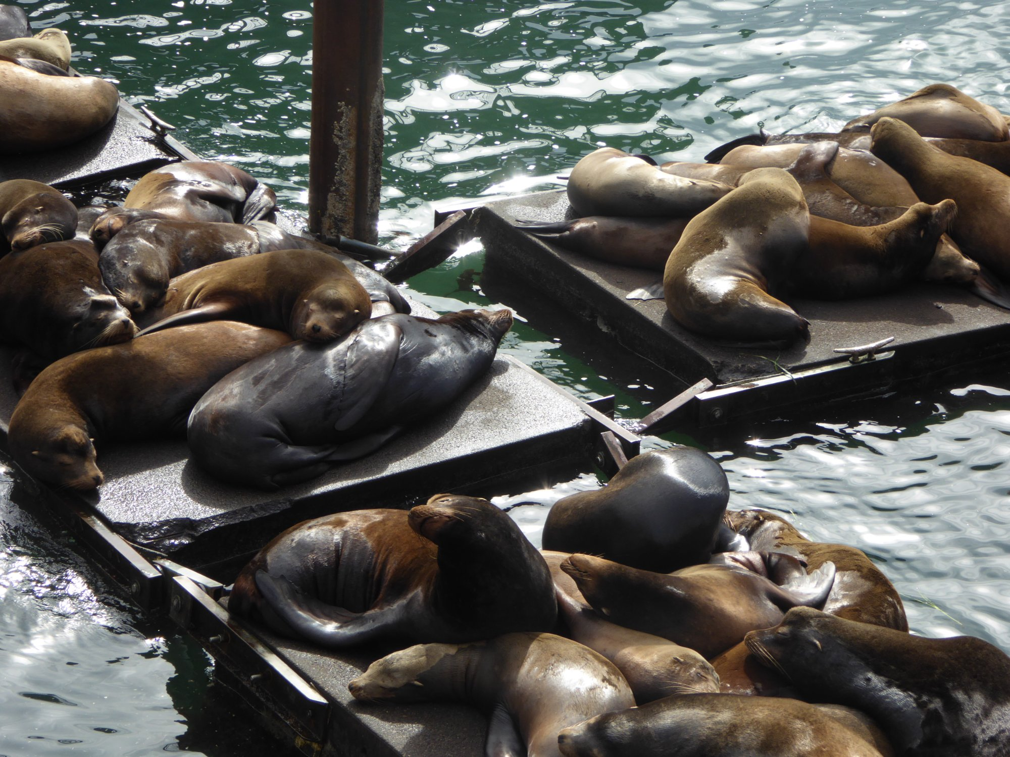 600 lb sea lion bulls on boat docks at Newport harbor