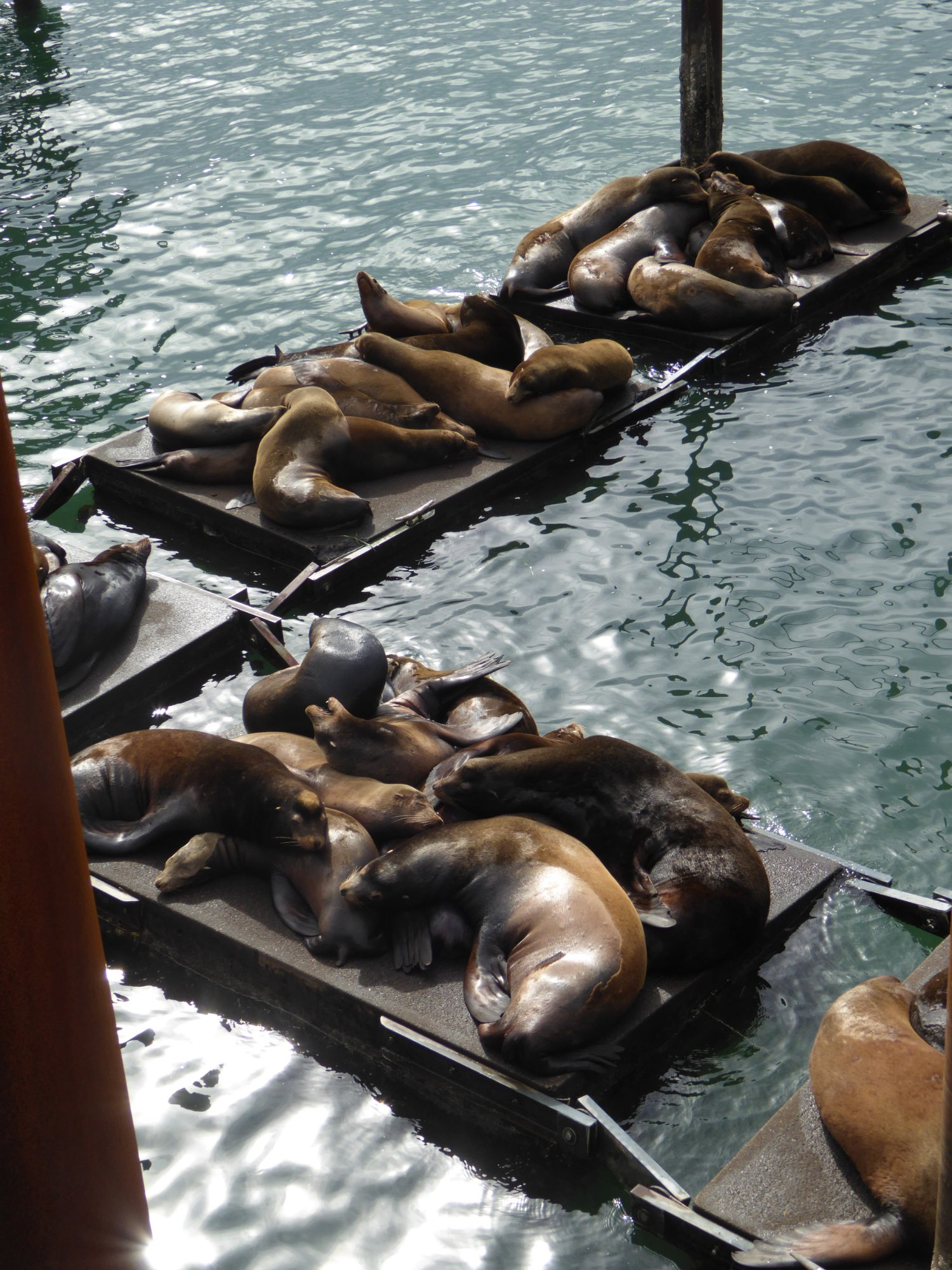 Sea Lions taking over boat docks at Newport harbor