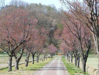 Okayama Cherry Blossoms