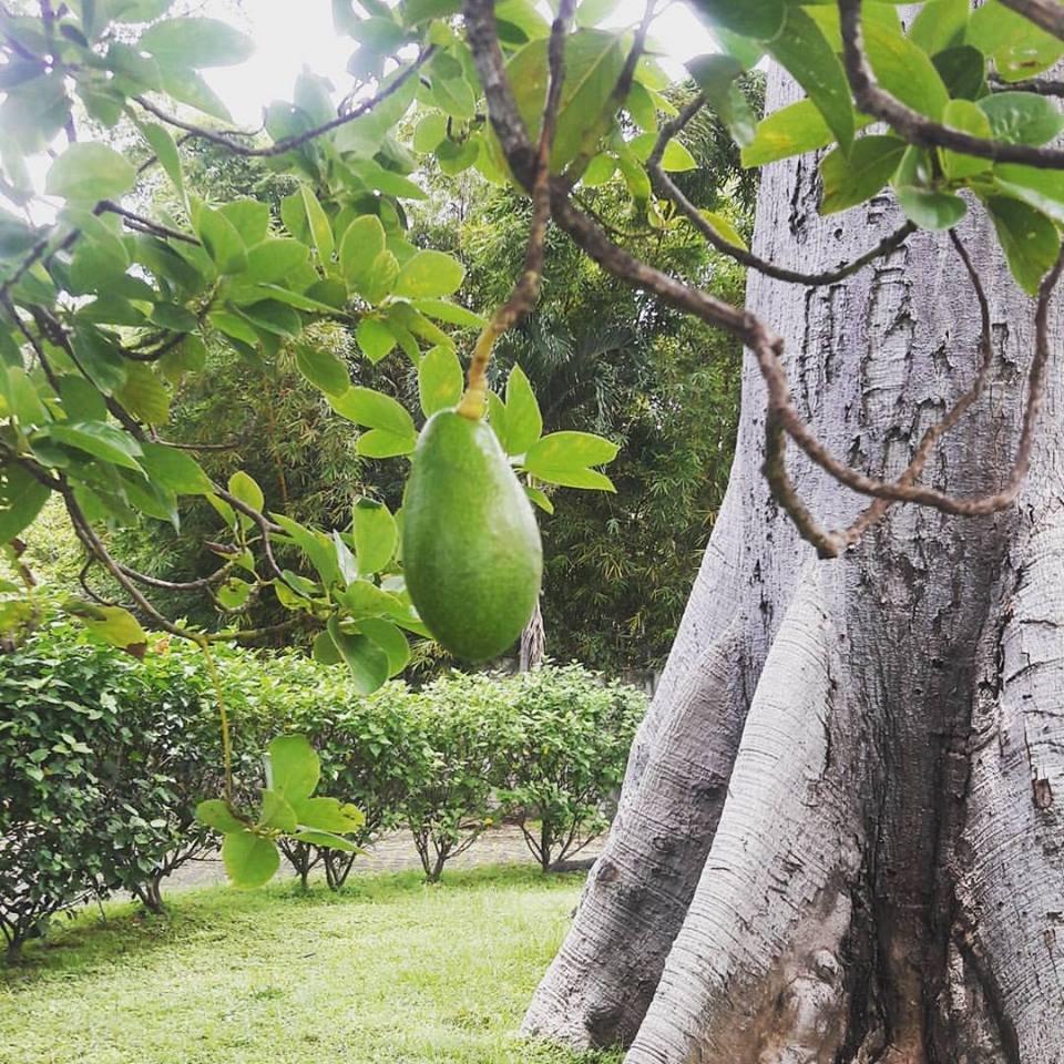 Guanacaste tree and aguacate neighbor tree, San Marcos Costa Rica