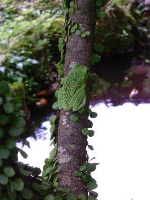 梅雨の時期の限定で、毎年訪れてくれる「モリアオガエル」。天然記念物に指定されているカエルです。貴重なカエルです。基本的には、木の高い所にいるので、この様に木の下の方にいることは少ないので、貴重な写真です。このカエルは体に黒い斑点が有りますが、ないカエルもいます。どちらかといえば、黒い斑点が無いカエルが多いです。この「モリアオガエル」は警戒心が強く、この時期池も周りを頻繁に通ったりすると、警戒心で、逃げていく可能性があります。この時期の、参拝はすぐ横を通って参拝してもらいますので、「モリアオガエル}の為にも境内では、お静かにお願いします。