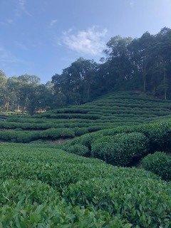the tea plantation