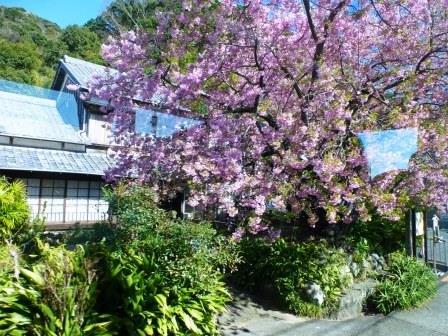 Kawazu Sakura No Genmoku