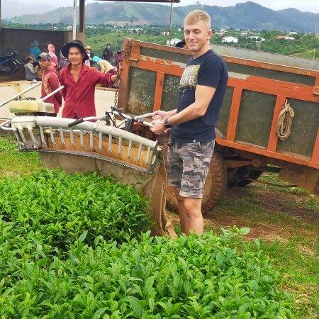 Чайные урожай