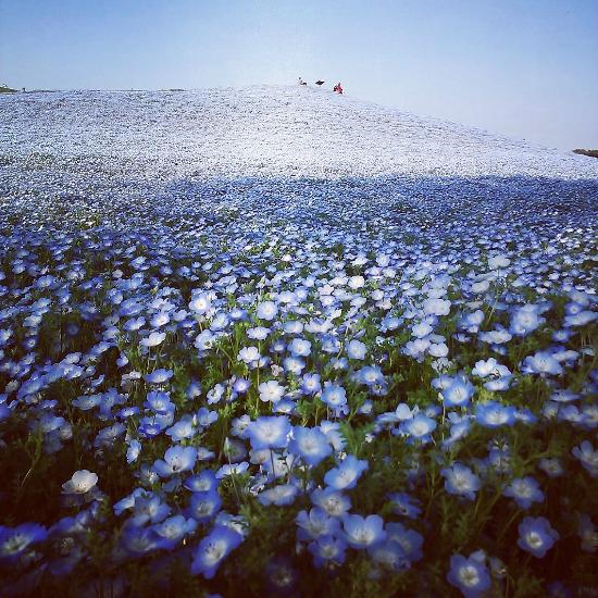 hitachi seaside park  hitachinaka  japan   from us 73 - top tips before you go