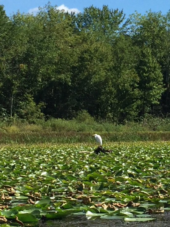 Great egret in the Lilly pads fishing.