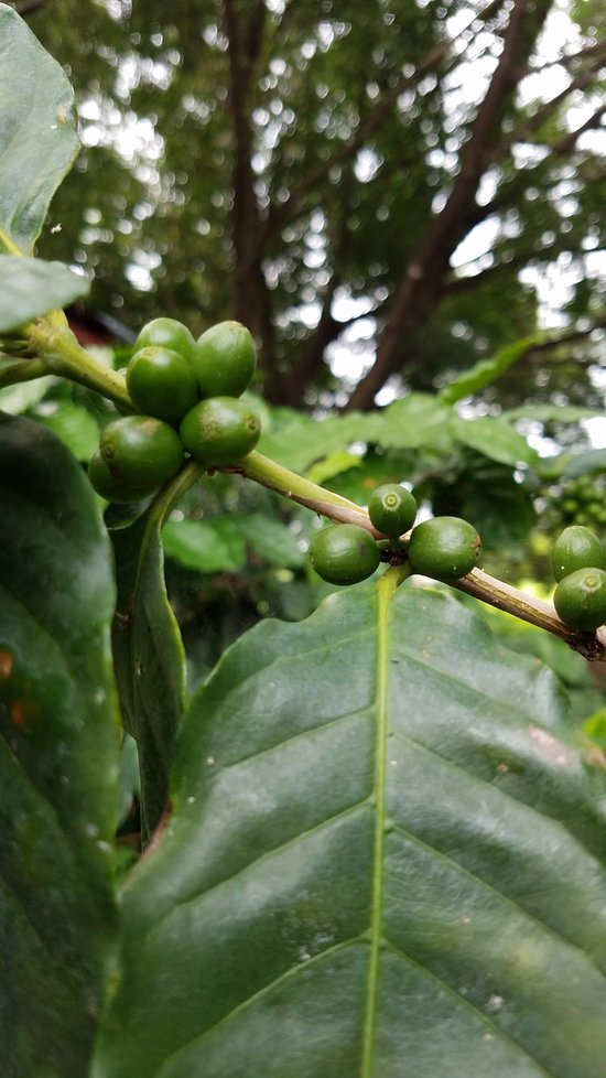 Unripe Green Coffee Beans Picture Of Tio Leo Coffee Tour