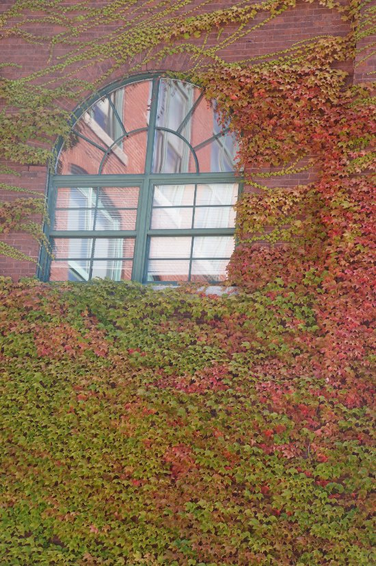 Ivy crawling up side of building