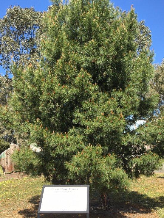 Lone Pine memorial tree