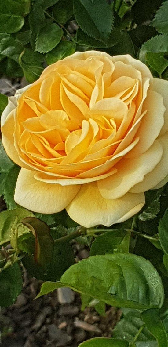 roses garden