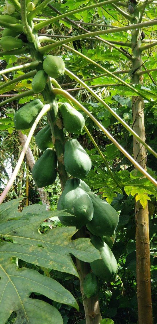 Beautiful Papaya Tree
